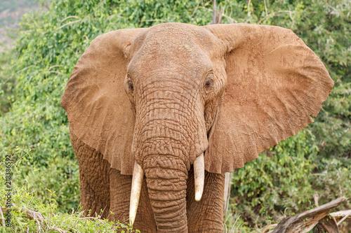 Plakat Zbliżenie portret duży Afrykański słoń z ucho otwiera z zielonymi krzakami w tle