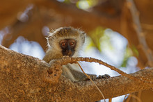 Young Vervet Monkey Sitting On A Tree Branch Looking Curiously At The Camera With Eyes Wide Open At Samburu National Reserve, Kenya