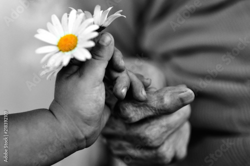 Fotografia  baby hand gives chamomile for older woman on holiday