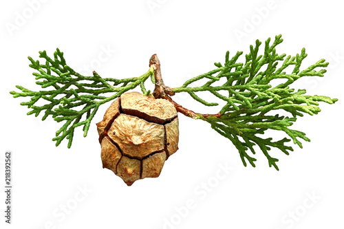 Photo Cypress conifer cone and sprig isolated on a white background