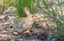 Young Cottontail Rabbit At Rio Grande Nature Center In Albuquerque, New Mexico