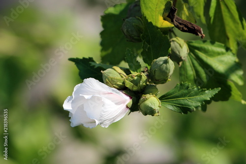 Hibiscus Syriacus Red Heart Or Rose Of Sharon Red Heart Variety