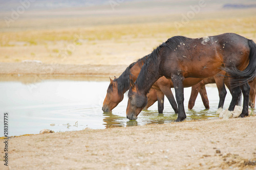 Photo  Mustang horses drinking