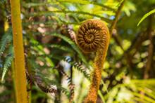 Fern Fiddlehead In Woods