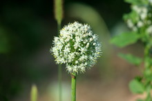 Open Umbel Of White Onion Flowers Growing On Thick Green Stem In Local Garden On Warm Sunny Day