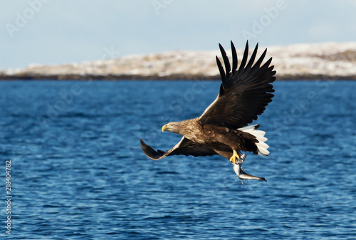 Garden Poster Eagle White-tailed sea Eagle in flight with a fish in the claws