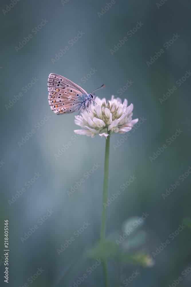 Papillon sur fleur de trèfle