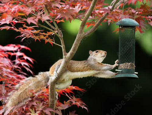 Photo  Grey Squirrel eating from a bird feeder on a colorful Japanese Maple