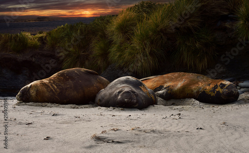 Fotografia, Obraz Close up of Elephant Seals lying on sandy coastline at sunset