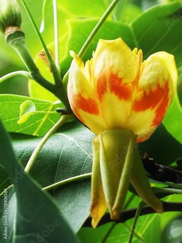 Papiers peints Narcisse flower