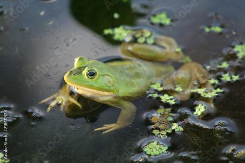 Fotografiet frog