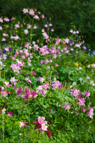 Canvas pink aquilegia in the garden
