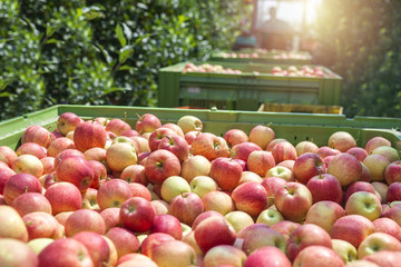 Seasonal apple fruit harvest. Tractor in orchard pulling wagons full of ripe natural apples. Fruit picking.
