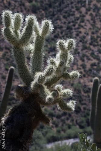 Photo  fuzzy cactus
