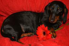 Dachshund, Flower, Blossom, Bloom, Red Gerbera, Dog, Pet, Animal, Black, Puppy, Canine, Dachshund, Cute,  Isolated, Brown, Breed, Mammal, Purebred, Domestic, White, Animals, Pedigree, Portrait, Hound