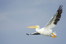 Pelican Flying In The Air With Plain Blue Sky