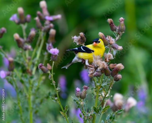 Fototapeta American Goldfinch Perched on Thistle