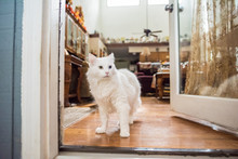 Adorable White Cat With A Green And Blue Eye Can't Decide To Go In Or Out Of A Door, In A Lovely Southern Home With Autumn Decor In The Background.