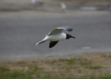 A Laughing Gull Flying.
