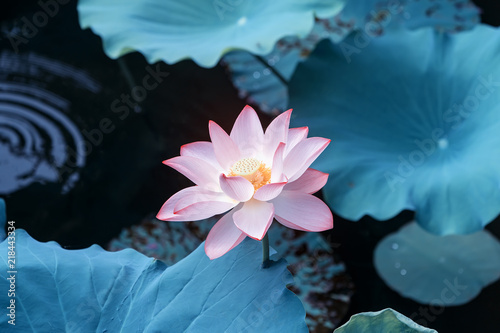 Acrylic Prints Lotus flower blooming lotus flower