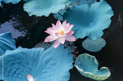 Fotografie, Obraz  Lotus flower and Lotus flower plants
