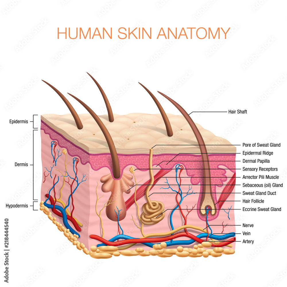 Human Skin Anatomy Vector Illustration Isolated Background Foto