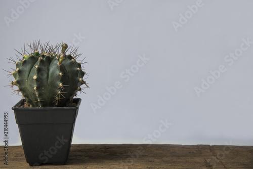Spoed Foto op Canvas Cactus White cactus flower