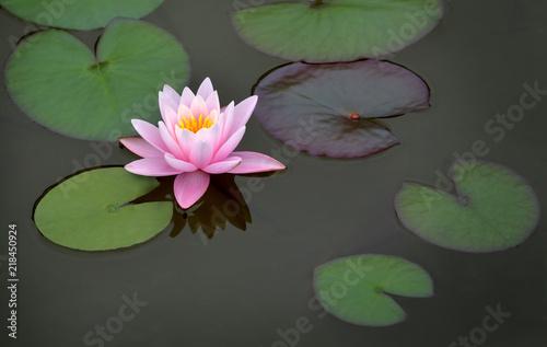 Deurstickers Waterlelies rosa Seerose