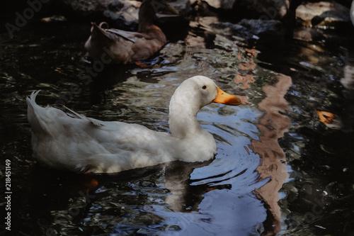 Foto op Plexiglas Krokodil Duck