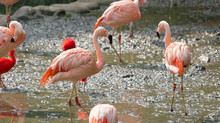 Chilean Flamingo Phoenicopterus Chilensis