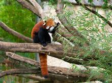 Red Panda Ailurus Fulgens Or Lesser Panda Eating Bamboo Leaves