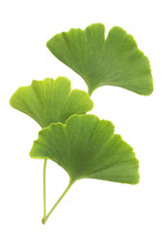 Ginkgo Leaves Isolated On White Background