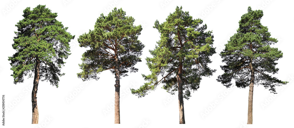 Fototapety, obrazy: Pine, spruce, fir. Coniferous forest. Set of isolated trees on white background