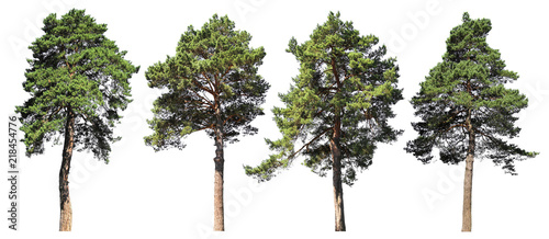 Obraz Pine, spruce, fir. Coniferous forest. Set of isolated trees on white background - fototapety do salonu