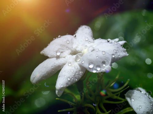 Close up of jasmine flower. Canvas Print