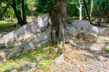 Old Heritiera Littoralis Dryand Buttress Tree Roots In Kenting National Park Taiwan