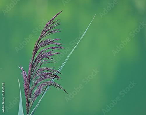 Fotografie, Obraz  Pianta graminacea su sfondo verde, copy space. astratto