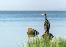 Single Big Black Bird Cormorant Sitting On Rock On Blue Water And Looking Into The Distance At Sunny Summer Day. Ukraine, Kakhovka Reservoir Beautiful Natural Background