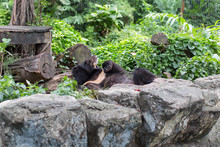 A Black Bear Sleeping In Dusit...
