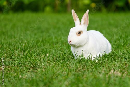 Fotografie, Obraz  Calm and sweet little white rabbit sitting on green grass