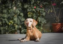 Senior Dog Resting In Garden