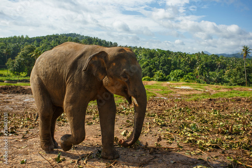 Plakat Stado słoni w naturze