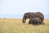 African elephant (Loxodonta africana) in Masai Mara, Kenya
