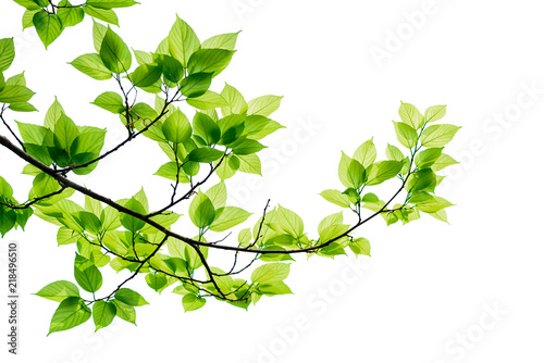 Foto Green tree leaves and branches isolated on white background.
