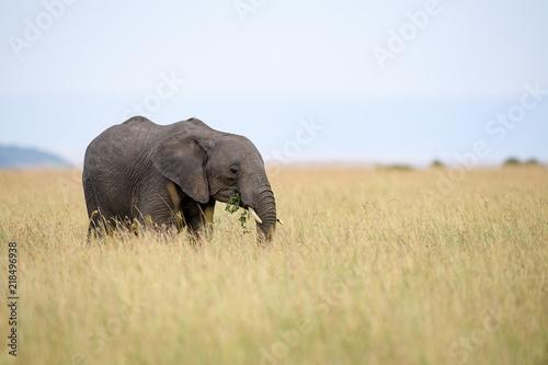 African elephant (Loxodonta africana) in Masai Mara, Kenya Canvas Print