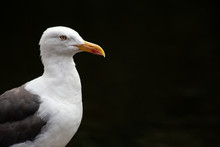 Portrait Of A Seagull Standing...