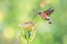 Hummingbird Hawk-moth On A Wil...