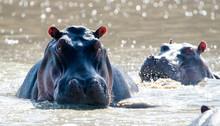 Common Hippopotamus (Hippopota...