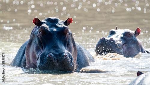 Fotografie, Tablou Common Hippopotamus (Hippopotamus amphibius) in river, Masai Mara, Kenya