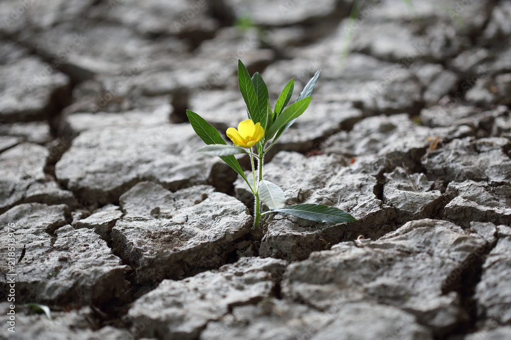 Fototapeta Blume kämpft sich durch trockene Erde